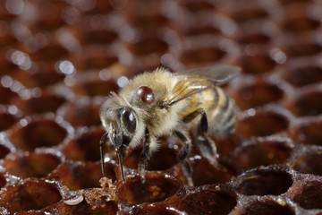 A Honeybee With A Varroa Mite Attached To Her Back