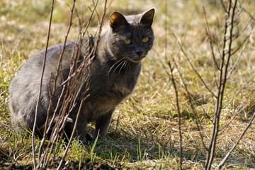 Grey cat in the grass.