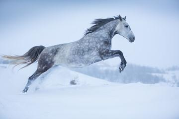 Gray Orlov mare in winter