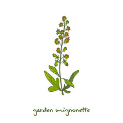 Reseda or Mignonette, aromatic and medicinal plant