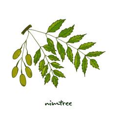Nimtree, medicinal plant