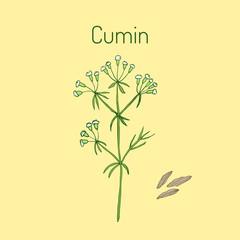 Aromatic plant cumin