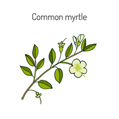 Myrtle or Myrtus communis
