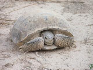 desert turtle Tortuga del desierto