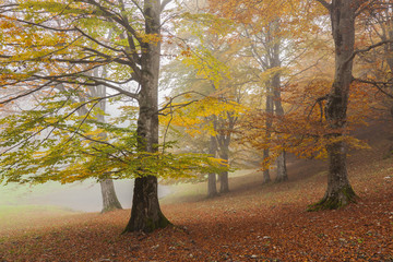 Baremone pass, Lombardy, Italy. Beeches in autumn.