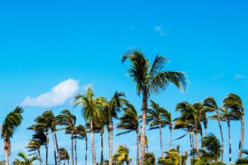 Tropical nature: Many palm trees with a blue & cloudy sky. New Providence Island, Nassau, Bahamas.