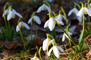 Snowdrops in the grass at sunset