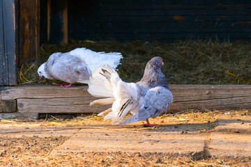 Two pigeons in the backyard. Pigeon courtship. Pigeons at sunset. Columbidae