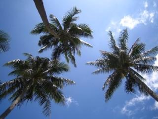 Feuillage de trois cocotiers sur ciel bleu