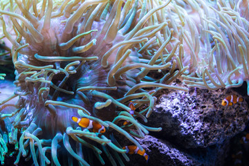 clown fishes swimming  in coral reef