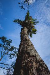 Foto op Canvas Aan het plafond Fern on The Top of Dry Tree, in Rainforest East Borneo Kalimantan Indonesia.