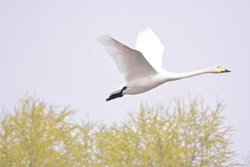 飞行的天鹅
