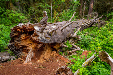 Fallen log, Olympic National Park