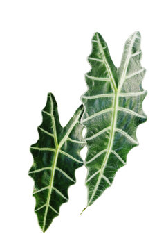 Dark green leaves of Alocasia Amazonica or African mask, exotic tropical plant isolated on white background, clipping path included.