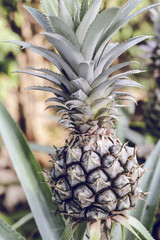 Pineapple tropical fruit growing in a farm