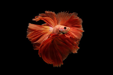 Concept design. Powerful Images that showcase the graceful movements of orange betta fish thailand.