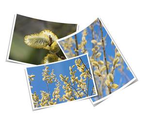 Weidenkätzchen, Blühende Weide