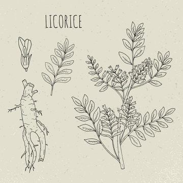 Licorice botanical isolated illustration. Plant, leaves, root, flowers hand drawn set. Vintage outline sketch.