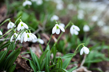 Snowdrop spring flowers. Snowdrop in the forest