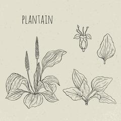 Plantain medical botanical isolated illustration. Plant, leaves, flowers hand drawn set. Vintage sketch.