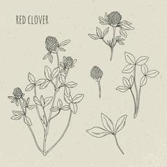 Red clover medical botanical isolated illustration. Plant, leaves, flowers hand drawn set. Vintage sketch.