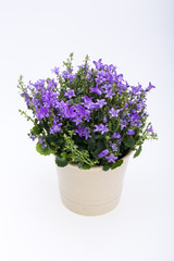 Beautiful vivid purple spring flower bush Dalmatian bellflower (Campanula portenschlagiana)