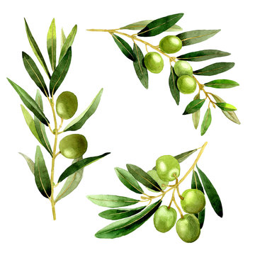 Olive tree in a watercolor style isolated.