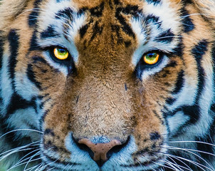 piercing Tiger eyes