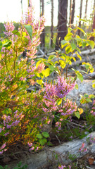 a flowering heather in evening light
