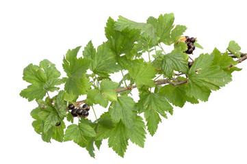 Branch of a black currant