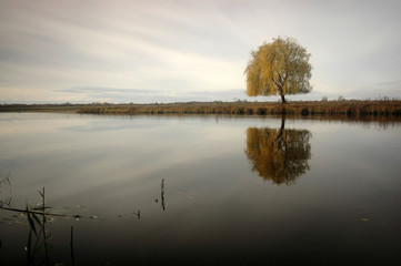 lonely willow tree by the river
