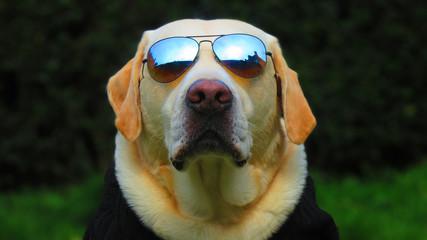 Fun White / Golden Labrador Retriever dressed up with cool aviator style sunglasses
