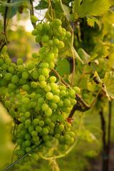 Weinreben an einem Weinstock