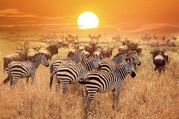 Aluminium Prints Zebra Zebra at sunset in the Serengeti National Park. Africa. Tanzania.