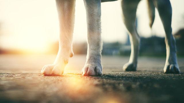 Die Beine und Pfoten eines Labrador Retriever Hundes als Hintergrund
