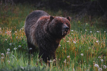 Portrait of brown bear, side view