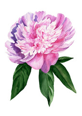 Watercolor illustration of peony