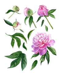 Set of design elements watercolor peony flower, leaves, buds