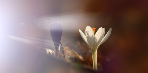 Violet and white spring crocus flowers
