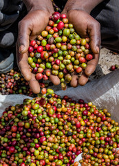 Grains of ripe coffee in the handbreadths of a person. East Africa. Coffee plantation. An excellent illustration.