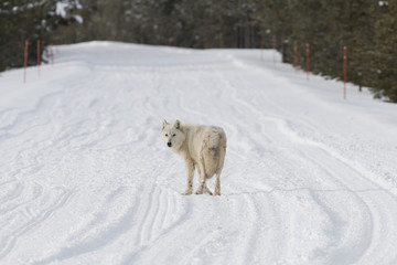 White wolf on the road