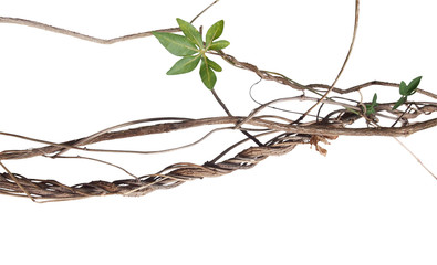Messy twisted jungle dried vines with green palmate leaf of wild morning glory isolated on white background, clipping path included.