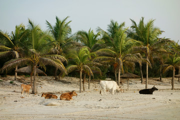 Cows on Paradise beach in Cap Skirring, Casamance, Senegal