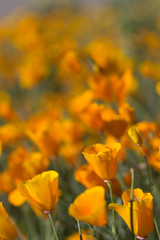 Close Up Wild California Poppies