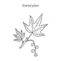 Occidental plane branch