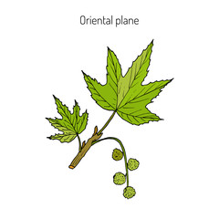 Occidental plane branch