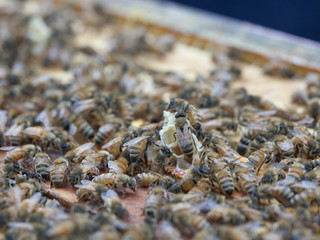Swarm of bees on hive frame, close up