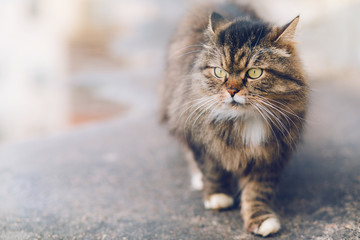 Serious cat walking at the street