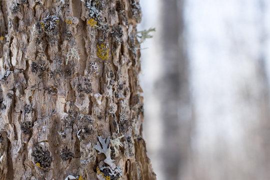Bark Detail of Black Ash Tree