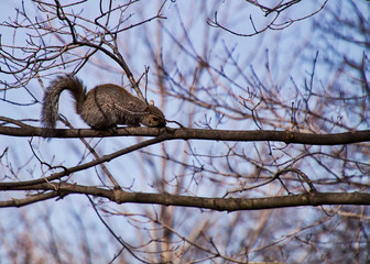 Squirrel scampering across barren tree branch in city of Chicago park during winter